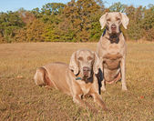 Two beautiful Weimaraner dogs — Stock fotografie