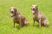 Two Weimaraner dogs sitting on green grass — Stock Photo