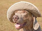 Humorous image of a Weimaraner dog wearing a ha — Stock Photo