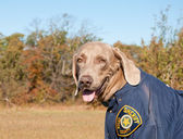 Funny image of a dog wearing a uniform — Stock Photo