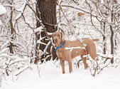 Weimaraner dog in deep snow — 图库照片