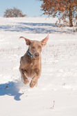 Weimaraner dog running in deep snow towards the viewer — Stock Photo