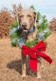 Beautiful Weimaraner dog wearing a Christmas wreath with a red bow — Stok fotoğraf