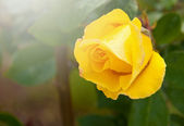Beautiful yellow rose with water droplets — Stock Photo