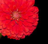 Close up of a vibrant red Zinnia flower — Stock Photo