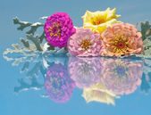 Colorful Zinnia flowers with reflection — Stock Photo