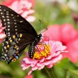 Ventral view of an Eastern Black Swallowtail — Stock Photo