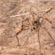 Burrowing Wolf Spider, Geolycosa - Stock Photo