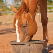 Stock Photo: Chestnut horse with blaze eating his dinner
