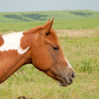 Young chestnut and white paint horse in prairie pasture — Stock Photo