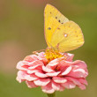 Orange Sulphur, Colias eurytheme butterfly — Stock Photo