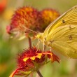 Stock Photo: Clouded Sulphur butterfly on IndiBlanket flower