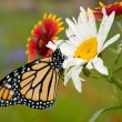 Monarch butterfly on wildflowers in spring - Stock Photo