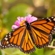 Dorsal view of a female Monarch butterfly - Stock Photo