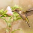Dreamy image of a young male Hummingbird hovering — Stock Photo
