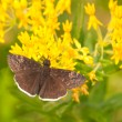 Stock Photo: Small Funereal Duskywing butterfly