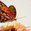 Ventral view of Agraulis vanillae, Gulf Fritillary butterfly - Stock Photo