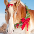 Closeup of a Belgian draft horse with a Christmas wreath - Stock Photo