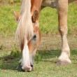 Closeup of a beautiful blond Belgian draft horse grazing - Stock Photo