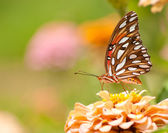 Gulf Fritillary Butterfly feeding on a pale orange Zinnia — Foto Stock
