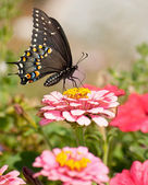 Beautiful Eastern Black Swallowtail butterfly in garden — Stock Photo