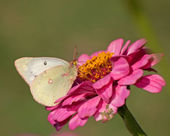Clouded Sulphur butterfly feeding on a pink Zinnia — Stock fotografie