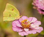 Bright yellow Cloudless Sulphur, Phoebis sennae butterfly — Stock Photo