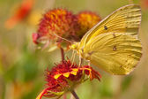 Clouded Sulphur butterfly on an Indian Blanket flower — Stok fotoğraf