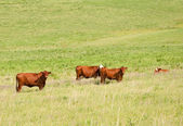 Red cows in lush summer pasture — Stock Photo
