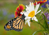 Monarch butterfly on wildflowers in spring — Foto Stock