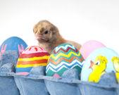 Surpresa em uma caixa de ovos - um pintinho no meio os ovos de páscoa — Foto Stock