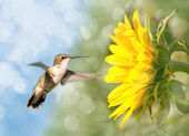 Dreamy image of a Hummingbird next to a Sunflower — Stock Photo