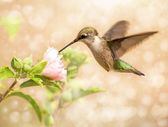 Dreamy image of a young male Hummingbird — Stock Photo