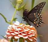Eastern Black Swallowtail butterfly feeding on pink Zinnia — Stock Photo