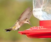 Female Ruby-throated Hummingbird hovering and drinking nectar — Stock Photo