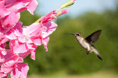 Female Ruby-throated hummingbird hovering — Stock Photo