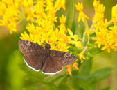 Small Funereal Duskywing butterfly — Stock Photo