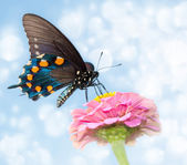 Dreamy image of a Pipevine Swallowtail butterfly — Stock Photo