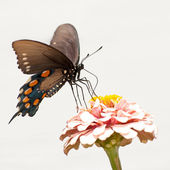 Green Swallowtail butterfly against light background — Stock Photo