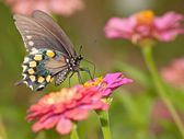 Green Swallowtail butterfly feeding on pink Zinnia — Stok fotoğraf