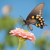 Green Swallowtail butterfly feeding on pink Zinnia — Stock Photo