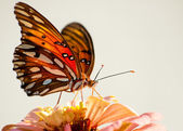 Ventral view of Agraulis vanillae, Gulf Fritillary butterfly — Stock Photo