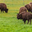 Bison Farming - Stock Photo