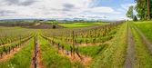 Swiss winnicy — Zdjęcie stockowe