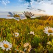 Oxe eye daisies at dawn — ストック写真