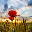Wild Poppies And Sunrise — Stock Photo #10674330
