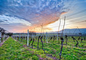 Swiss Vineyard — Stock Photo