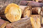 Wood stumps — Stock Photo