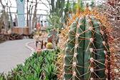 Barbed beauty (Mammilaria) — Stock Photo