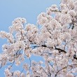 Beautiful branch of blooming cherry - Stok fotoğraf